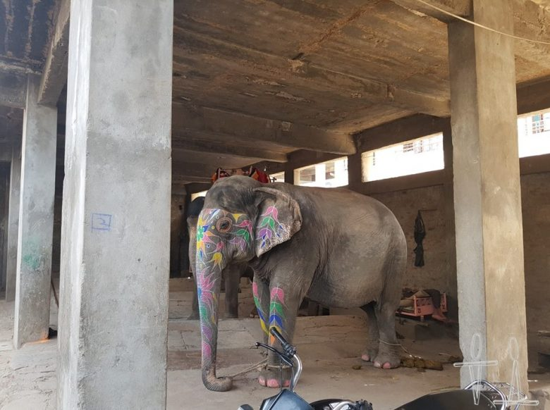 chained elephant at his shelter in Amer, Rajasthan, India